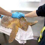 Loro Parque recupera a una tortuga boba accidentada en una playa de Gran Canaria