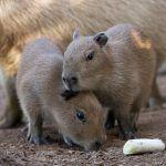 Nacen en Loro Parque dos crías de capibara, el roedor más grande  del mundo