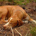 Se regularán las condiciones de los perros destinados a las actividades de caza