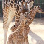 Nacen dos nuevas crías de jirafa en Oasis Park Fuerteventura