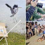 La garza real rescatada ya vuela libre en la Reserva de Las Dunas de Maspalomas