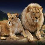 Loro Parque dará la bienvenida a los leones, una especie de África en peligro de extinción