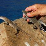 El Cabildo de La Gomera impulsa la conservación y divulgación del Lagarto Gigante
