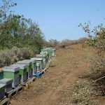 Más del 70 % de las abejas de Gran Canaria son del tipo negra canaria, superior al esperado