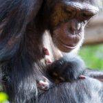 Loro Parque celebra la Semana Santa con el nacimiento de la cría de chimpancé 'Happy'