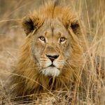 Loro Parque «La caza furtiva y la destrucción del hábitat condenan a los leones africanos»