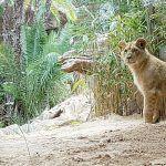Loro Parque da la bienvenida a las dos crías hembra de león africano