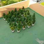 La Policía Local incauta 34 plantas de marihuana en la terraza de una vivienda en Los Cristianos