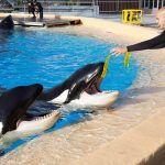 Científicos realizan en Loro Parque un estudio para identificar el bienestar en las orcas