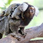 Nace en Oasis Park Fuerteventura un lémur de cola anillada en peligro de extinción