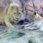 Loro Parque recibe al león africano que reinará en 'Lion's Kingdom'
