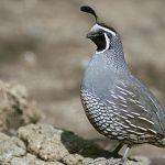 Tenerife promueve la conservación de la codorniz a través de geolocalizadores