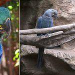 Loro Parque Fundación ha conseguido reproducir al Guacamayo de Lear