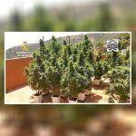 Desarticulan una plantación ilegal de marihuana en Gran Canaria