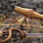 La Viticultura Biodinámica, nuevo curso formativo de Ycoden Daute Isora