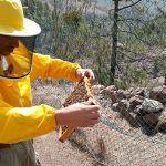 Llevan zánganos genéticamente seleccionados para expandir la abeja negra en Gran Canaria