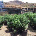 Desmantelan en Lanzarote cuatro invernaderos de marihuana, incautando 750 kilos de marihuana