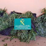Localizaron 40 plantas de marihuana en una finca en El Hierro