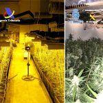 Incautaron cerca de 30.000 plantas de marihuana de una organización de origen chino