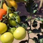 Las organizaciones sindicales se incorporan al Plan Estratégico del Tomate de Canarias