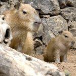 Una nueva cría de capibara se suma al 'boom' de nacimientos de Loro Parque