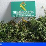 Cultivaba en su domicilio en El Sauzal 123 plantas de marihuana