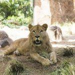 Loro Parque se prepara para celebrar el primer cumpleaños del león Simba