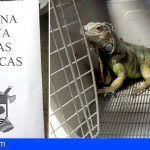 SEPRONA localiza en Alcalá un ejemplar de iguana verde en la vía pública