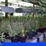 Intervienen dos naves con 1.341 plantas y 300 kilogramos de marihuana en Valencia