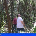 Se realiza trabajos de ordenación silvícola para prevenir futuros incendios forestales en Tenerife