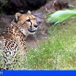 Oasis Park Fuerteventura acoge los tres únicos ejemplares de guepardo en las Islas Canarias