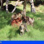 Los visitantes ya pueden ver a las dos nuevas guepardos de Oasis Park Fuerteventura