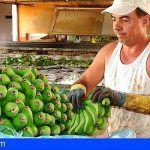 Incluyen el plátano canario entre los productos cuyo transporte está subvencionado