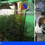 Intervenidas en Barcelona y Gerona 2.500 plantas de marihuana cuyo destino era su exportación a Reino Unido
