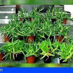 La Policía Autonómica interviene en Santa Brígida 23 ejemplares de una planta exótica invasora