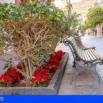 Más de 1.500 flores de pascua decoran las zonas verdes de San Sebastián de La Gomera