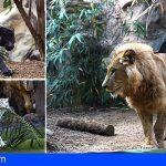 Loro Parque celebra el Día Mundial de la Vida Silvestre con una semana dedicada a sus Grandes Felinos