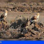 Política Territorial estudia el estado de conservación del guirre en Canarias