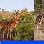Las jirafas de Fuerteventura estrenan sabana en Oasis Park