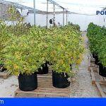 Localizan una plantación de marihuana en una nave industrial abandonada de Puerto del Rosario