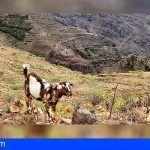 El Cabildo reúne a los ganaderos de la Gomera para impulsar la Asociación de Defensa Sanitaria