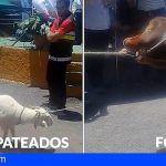 PACMA denuncia el trato que se dio a los animales en la feria de ganado en Gran Canaria (Vídeo)