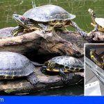 Incautan en Arona 12 ejemplares de tortugas de especies exóticas invasoras