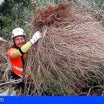 En El Chinyero y Barranco del Infierno realizan trabajos de control de flora exótica invasora