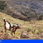 Inician en La Gomera el programa de auditorías para las explotaciones ganaderas de la Isla