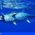 Canarias pide al Estado que se reserve a la flota canaria la cuota de atún blanco no consumida