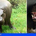Llegan a Loro Parque dos Hipopótamos Pigmeos