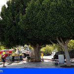 Trasplantarán los laureles de indias en el parque infantil de Santiago del Teide