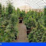 Localizan una plantación con casi 400 plantas de marihuana en Puerto del Rosario