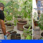 Ocultaban en la parte alta de un garaje una plantación ilegal de marihuana en Lanzarote